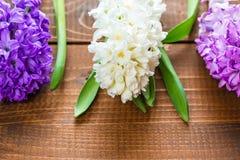 Fiori freschi del giacinto Fotografie Stock