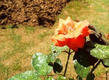 Fiori freschi del giardino dal giardino Fotografia Stock Libera da Diritti