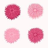Fiori freschi dell'aster della molla rosa quattro fotografia stock libera da diritti