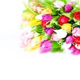 Fiori freschi variopinti dei tulipani della sorgente su bianco Immagine Stock