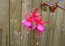 Fiori fucsia rosa e recinto di legno Fotografia Stock