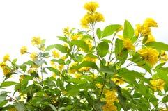 Fiori gialli Fotografie Stock