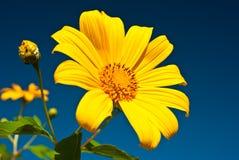 Fiori gialli. Fotografie Stock Libere da Diritti