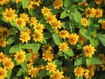 Fiori gialli Fotografie Stock Libere da Diritti