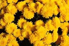 Fiori gialli Immagini Stock