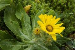 Fiori gialli alla costa dell'oceano Pacifico Fotografie Stock
