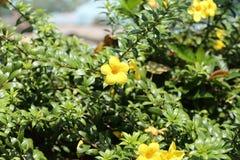 Fiori gialli allo zoo di Saigon ed al giardino botanico Immagini Stock Libere da Diritti