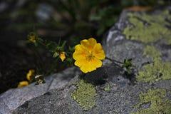 Fiori gialli alpini Fotografia Stock Libera da Diritti