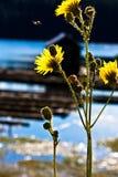 Fiori gialli alti Immagini Stock Libere da Diritti