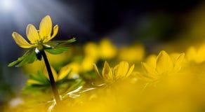 Fiori gialli astratti Fotografia Stock