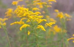 Fiori gialli carichi Fotografia Stock Libera da Diritti
