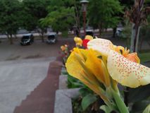 Fiori gialli che fioriscono di mattina, con questa bellezza fotografia stock libera da diritti