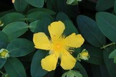 Fiori gialli che sbocciano nel tempo di primavera Fotografia Stock