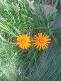 Fiori gialli con l'erba del mare Immagini Stock