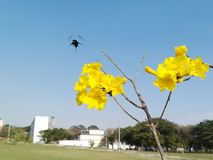 Fiori gialli con l'insetto di volo Fotografia Stock