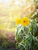 Fiori gialli con le foglie verdi sul fondo naturale di luce solare fotografie stock libere da diritti