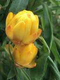 Fiori gialli con le gocce di rugiada fotografie stock libere da diritti