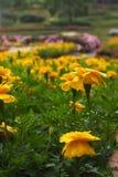 Fiori gialli con una goccia di acqua in un giardino floreale, su un fondo variopinto del giardino floreale immagini stock