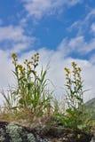 Fiori gialli contro lo sfondo del cielo Immagine Stock