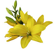 Fiori gialli dei gigli, su un fondo bianco, isolato con il percorso di ritaglio bello mazzo dei gigli con le foglie verdi, per Fotografia Stock