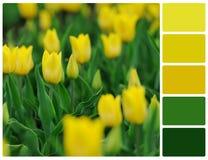 Fiori gialli dei tulipani con i campioni di colore della tavolozza Fotografia Stock