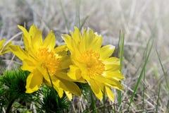 Fiori gialli dei vernalis del Adonis Immagini Stock