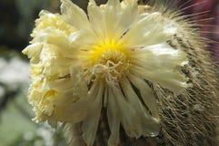 Fiori gialli del cactus della torre immagine stock