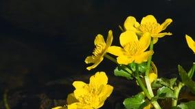Fiori gialli del Caltha nella fine dell'acqua dello stagno su archivi video