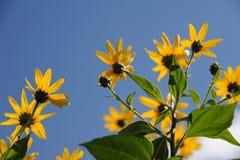 Fiori gialli del crisantemo Fotografia Stock