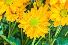 Fiori gialli del crisantemo Fotografie Stock Libere da Diritti