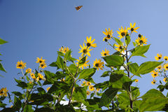 Fiori gialli del crisantemo con la farfalla Fotografia Stock Libera da Diritti
