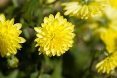 Fiori gialli del crisantemo nel giardino di autunno Fotografia Stock Libera da Diritti