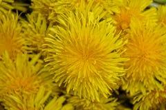 Fiori gialli del dente di leone Fotografie Stock Libere da Diritti