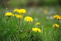 Fiori gialli del dente di leone in erba verde Fotografie Stock