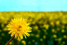 Fiori gialli del dente di leone su erba verde fotografia stock libera da diritti