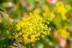 Fiori gialli del fiore di Mahonia Immagini Stock Libere da Diritti