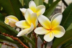 Fiori gialli del frangipani Fotografia Stock