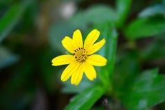 Fiori gialli del fuoco, immagine vaga fotografia stock libera da diritti
