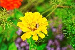 Fiori gialli del giardino della valle di Lauterbrunnen nel cantone Svizzera di Berna Fotografia Stock