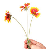 fiori gialli del giardino in una mano Fotografia Stock