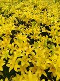 Fiori gialli del giglio Immagine Stock