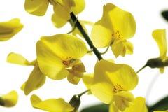 Fiori gialli del maggiociondolo Fotografie Stock