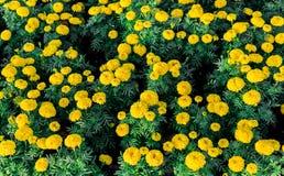 Fiori gialli del tagete Immagine Stock