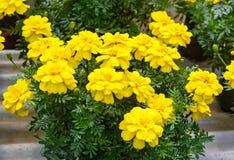 Fiori gialli del tagete Fotografia Stock Libera da Diritti