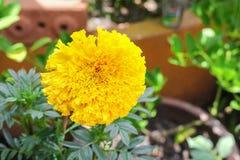 Fiori gialli del tagete Bello fiore dell'India del tagete Immagini Stock