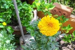 Fiori gialli del tagete Bello fiore dell'India del tagete Immagine Stock