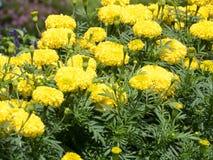Fiori gialli del tagete in un giardino tropicale immagine stock libera da diritti