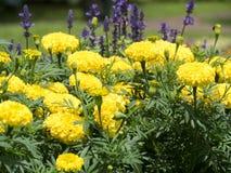 Fiori gialli del tagete in un giardino tropicale fotografia stock