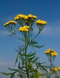 Fiori gialli del tanaceto Fotografie Stock