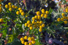 Fiori gialli del tanaceto nel prato fotografia stock